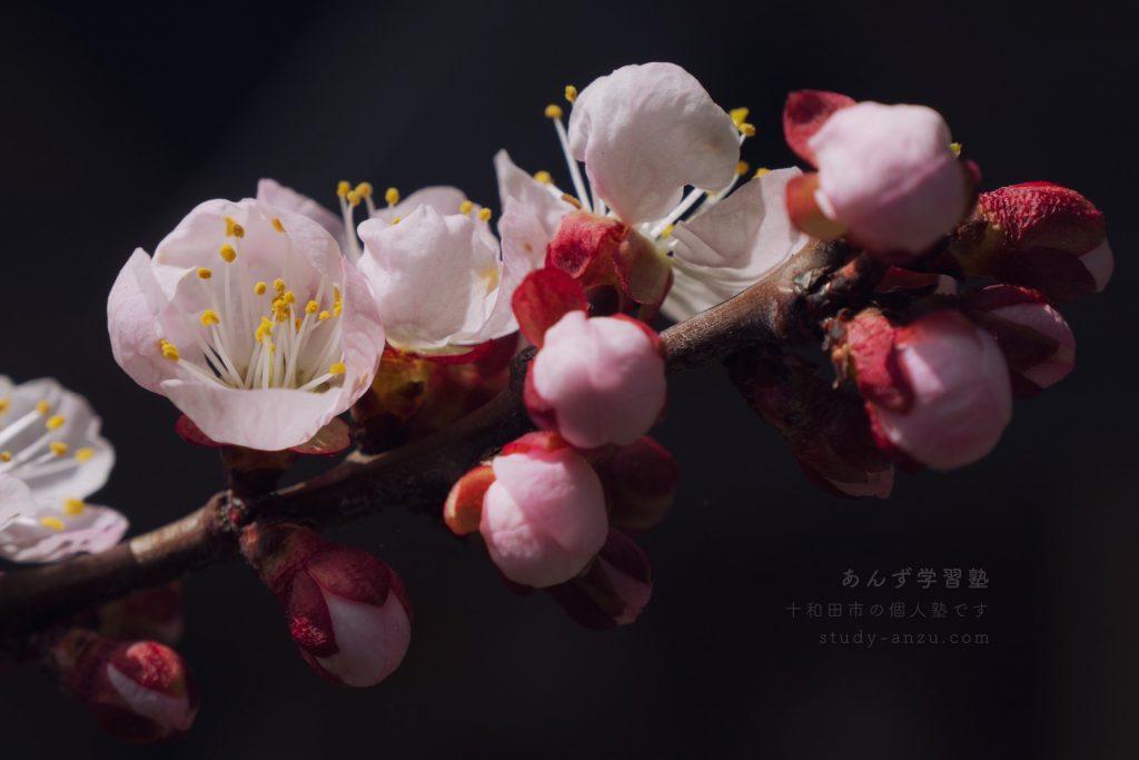 アンズの花クローズアップ